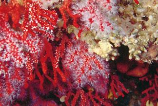 Corail dans - bijoux et protection de l'environnement